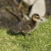Duckling near the River Welland
