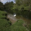 Swan on the River Nene