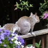 Squirrel on my garden fence