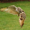 Bird of prey in flight.