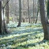 Snowdrops and woodland near Walsingham Abbey
