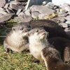 More otters