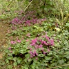 Naturalised Cyclamen in the Wood.