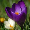 Crocuses or Croci in Jubilee Gardens, Bewdley