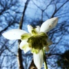 Snowdrop by the Churchyard