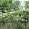 Roses at Castle Howard gardens