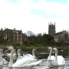 Swans near Worcester Cathedral