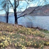 Wordsworth's Daffodils at Ullswater (Askham, Cumbria) in the Lake District