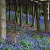 Bluebell woods at Clent