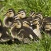 Ducklings on the Coventry Canal