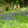 Bluebells in the Churchyard