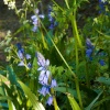 Dene Wood Bluebells
