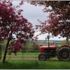 Red tractor and pink blossom.
