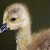 Gosling along the Canal by Gosty Hill tunnel