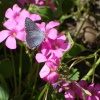 Holly Blue Butterfly on Oxalis.