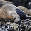 Grey seal on Filey Brigg