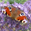 Butterfly Mount Edgcumbe House Cremyll Torpoint
