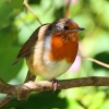 A Robin near the River Dart