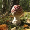 Fly Agaric in Beacon Wood Country Park