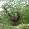 Druid's Oak