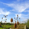 Teasels at Hengistbury Head near Christchurch