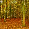 Cobham Woods in Autumn
