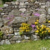 Lindisfarne Priory blossoming walls