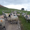 Dales Sheep