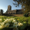 Primroses and St Mary's Church, Thenford, Northants