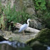 Heron at Clumber Country Park