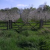 Cider Apple Orchard