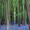 Bluebell Woods, Ashridge Estate