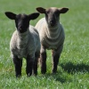 Inquisitive Spring Lambs