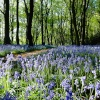 Bluebells in Silverwood