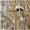 Heron In Long Grass