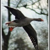 Flying Greylag Goose