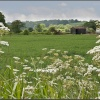 Cow Parsley, yes you can eat it !