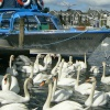 Swans and a Boat!!!