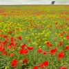 Poppys and Oilseed rape