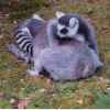 Ring tailed lemurs.......so I am reliably informed