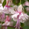 English Country Garden - pale pink fuschia