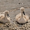 Cygnets at Coniston landing stages