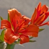 English Country Garden - Deep Orange Lily