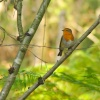 Robin on Brownsea Island