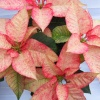 More poinsettias
