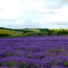 Snowshill Lavender fields.