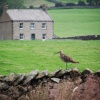 Curlew Taking a Break in Ribblesdale - Yorkshire Dales