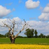 Trees and Oil Seed Rape