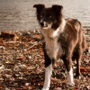 A Coniston Dog