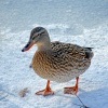 Iced Duck at Leeds Castle